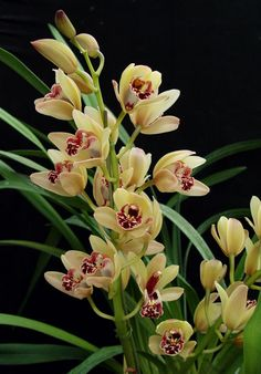cymbidium orchid care.  be sure to keep it outside through a frost in order to get it to rebloom!!  wonder what color mine is???
