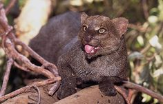 Jaguarundi  The closest relative to the mountain lions. Found in the US, Mexico, and Central and South America.