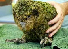 "fullmetal-ravioli: "" The kakapo is a critically endangered species of large, flightless, nocturnal, ground-dwelling parrot of the super-family Strigopoidea endemic to New Zealand. Flightless Parrot, Kakapo Parrot, Parrot Pet, Parrot Toys, Talking Parrots, Little Birds, Endangered Species, Budgies, Bird Feathers"