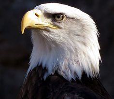 bald eagle pictures - Google Search