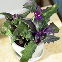 Purple Passion vine