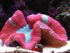 15 Easy Saltwater Aquarium Reef Corals: Lobed, Flat, and Open Brain (Lobophyllia) Corals