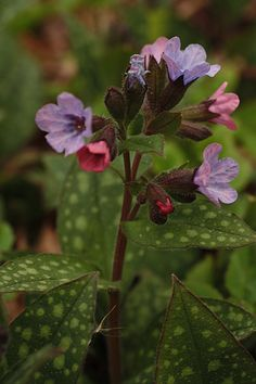 Pulmonaria officinalis~I have these lovely plants everywhere, wonderful spring blooms  <3