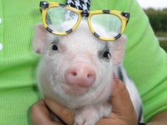 Teacup pig I want you