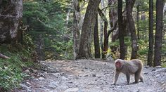 Kamikochi - Gateway to the Japanese Alps comes nicely packaged with wild monkeys!