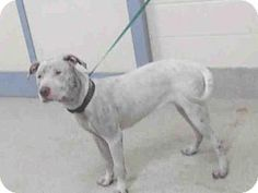 Tavares, FL - American Pit Bull Terrier. Meet A007808, a dog for adoption. http://www.adoptapet.com/pet/14405072-tavares-florida-american-pit-bull-terrier