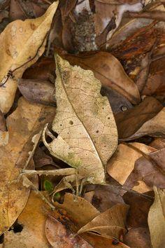 A beautiful beige Typophyllum bolivari female