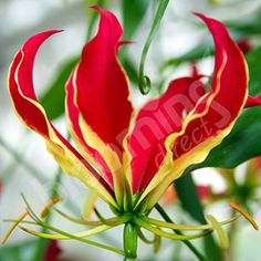 spectacular 'Flame Lily' the national flower of Zimbabwe