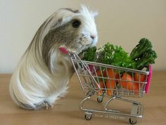 grocery shopping G-pig with lovely hair
