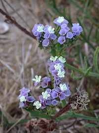 Sea Lavenderスターチス 「永遠の花 (everlasting flowers) 」