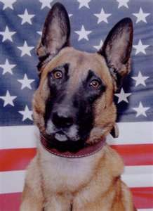 War Dogs - Navy SEAL Team Dog ~ BART:  Killed on August 6, 2010,  when their Chinook helicopter was shot down by a rocket-propelled grenade in Afghanistan   with another military dog named Cairo.