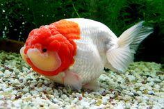 Goldfish Lionhead Goldfish, Oranda Goldfish, Pet Goldfish, Goldfish Aquarium, Goldfish Tank, Japanese Goldfish, Goldfish Types, Otters Cute, Aqua Culture