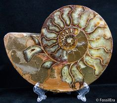 Win this 110 million year old cut and polished ammonite fossil.