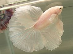 Ballerina Fish..PINK AND FEATHERY..