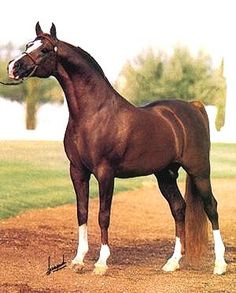 *MUSCAT (SU) 1971|25.7.1996 Straight Russian Arabian chestnut stallion. Salon {Negatiw x Sonata by Skrzyp} x Malpia {Priboj x Mammona by Ofir} 1980 Triple Crown Arabian Stallion, U.S. National Champion, Canadian National Champion and Scottsdale Champion. Bred by Tersk State Stud USSR. Owned by Howie Kale, KARHO International, Arizona, USA. All-time leading Russian sire of champions with 179 champions and 51 National winners. Considered the leading progenitor of the Naseem sire line.