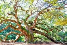 The Angel Oak Tree on John's Island is a symbol of Charleston, South Carolina. It is estimated to be in excess of 400-500 years old. Some contend that it is 1,500 years old. It is among the oldest trees in the United States. This magnificent oak stands 66.5 ft tall, measures 28 ft in circumference, and produces shade that covers 17,200 square feet. From tip to tip Its longest branch distance is 187 ft.  A must-see!