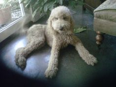 My standard poodle Dolly!!