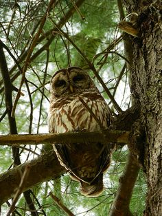 Barred owl, Great Smoky Mountains National Park, April 2013