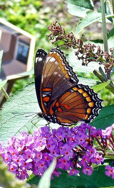 Butterfly on Purple Butterfly Bush~cl  https://www.etsy.com/shop/DrewsCollectibles