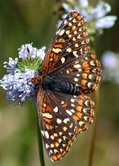 Stunning Butterfly!                   Occidryas editha baroni Edith's Checkerspot