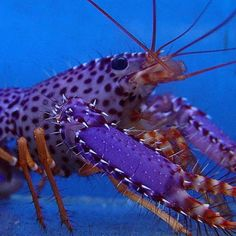 WOW~LOVIN this amazing purple reef lobster! Pretty Fish, Beautiful Fish, Underwater Creatures, Underwater World, Land Turtles, Life Under The Sea, Fishing Pictures, Water Life, Animals
