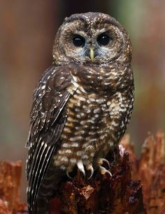 EVIDENCE OF ABSENCE : Northern Spotted Owls are still vanishing from the Northwest. The Northern Spotted Owl came to epitomize the struggle between logging and conservation in the Pacific Northwest during the 1990s. Despite attempts to help the species bounce back, it is just as imperiled today. Habitat loss remains an issue, but the newest challenge comes from a close cousin, calling for some agonizing decisions. Read more in The Cornell Lab's Living Bird online magazine.