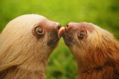 These cute baby sloths are sharing a cheeky kiss! For more cute sloth pictures, check out our sloth blog: http://all-things-sloth.com/sloth-blog/