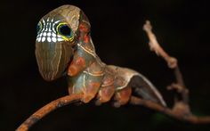 An extraordinary specimen is the larvae of the pink underwing moth, an endangered species only found in the Australian rainforest. Ecologist Lui Weber photographed the rare caterpillar, which is characterised by a set of teeth-like markings set between spots that look like eyes with large pupils.