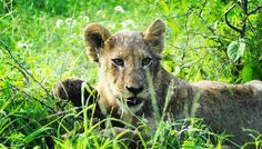 Today I saw a Lioness and her cubs. #passportready #travelblogger #wanderlust #ilovetravel #writetotravel #aroundtheworld #etihad #travel #travelwithkids #globaldegree #passportrequest #rickshawtravel #kids #traveller #traveltheworld #planetearth #ontour @etihadairways @rickshaw_travel #lion #cub #africa #kruger #safari #lioness #kill