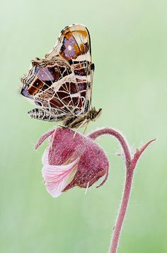 "Butterfly (araschnia levana) ~ Miks' Pics ""Butterflies and Moths l"" board @ http://www.pinterest.com/msmgish/butterflies-and-moths-l/"