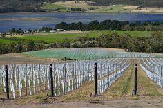 Vineyard in Tasmania