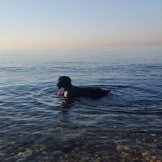 Going for a dip in Lake Ontario! - Humber Bay Park West - Toronto, ON - Angus Off-Leash #dogs #puppies #cutedogs #dogparks #toronto #ontario #angusoffleash
