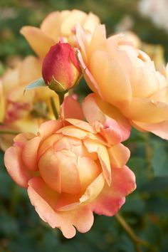Stunning 'Lady Of Shalott',English Rose - with its spectacular apricot chalice-shaped blossoms filled with loosely arranged petals! My Flower, Pretty Flowers, Cactus Flower, Exotic Flowers, Purple Flowers, Beautiful Roses, Beautiful Gardens, Rose Hardy, David Austin Rosen