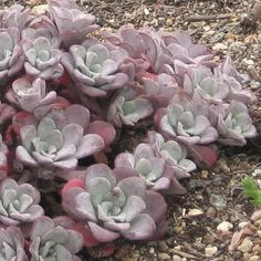 Posts about Green Roof written by Keir Watson Plants, Echeveria, Flowers, Drought Tolerant Plants, Trees To Plant, Amazing Gardens, Succulents, Air Plants, Sedum