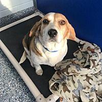 Angola, Indiana - Beagle. Meet Matilda, a for adoption. https://www.adoptapet.com/pet/20773527-angola-indiana-beagle-mix
