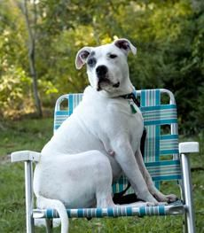 6 / 7    ***SENIOR*** Petango.com – Meet Sparrow, a 10 years 3 months Terrier, Pit Bull available for adoption in Boston, MA Address  P.O. Box 35096, Boston, MA, 02135  Phone  (617) 000-0000  Website  http://www.underdogresq.org  Email  info@underdogreq.org