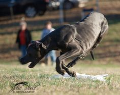 Leaping Great Dane