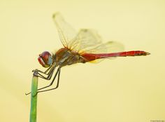 Sympetrum fonscolombii male by David Martín López on 500px