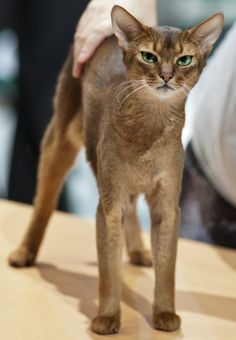 Abyssinian cat very affectionate