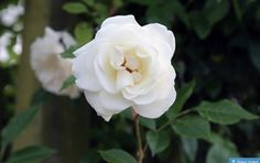 white rose flower Types Of White Flowers, White Rose Flower, Types Of Roses, White Roses, Red Roses, Beautiful Roses, Beautiful Gardens, Lambs Ear Plant, Rose Foto