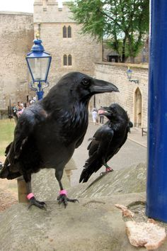Ravens ~ Tower of London  So much bigger than I imagined.  They were beautiful.