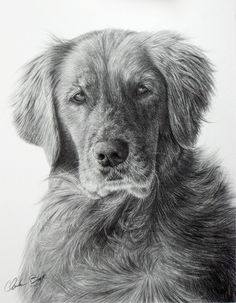 Golden Retriever by eidolic on deviantART Pencil Portrait Drawing, Pencil Art Drawings, Realistic Drawings, Painting & Drawing, Animal Sketches, Animal Drawings, Dog Sketches, Dog Drawings, Golden Retriever Art