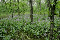 Orchis militaris group - Flickr - Photo Sharing!