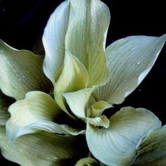 Shades of Green Hostas and Daylilies Hosta - Grey Ghost