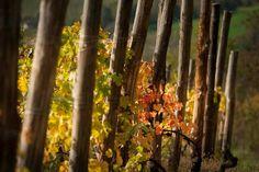 #langhe #nebbiolo #barolo #wine Barolo Wine, Plants, Plant, Planets