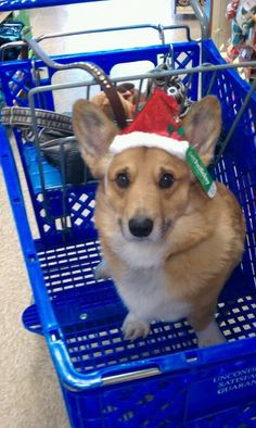 The Daily Corgi...just doing some Xmas shopping.....