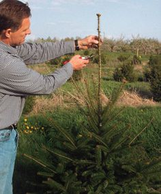 How to prune conifers. This requires more thought than most people seem to give.