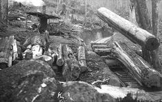 Logs being loaded on log trucks, the logs hold the trucks together. c1900