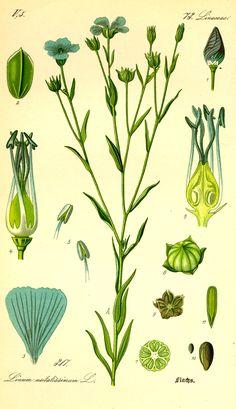 Gemeiner Flachs oder Gemeiner Lein (Linum usitatissimum), Illustration