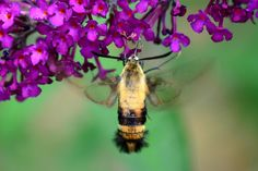 https://flic.kr/p/oJS1GE | Hummingbird moth | DSC_6606